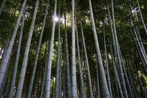 Bamboo Bamboo Forest Japan Outdoor Zen Forest