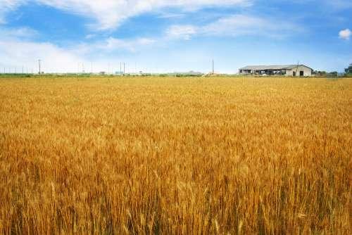 Barley Field Horizon Rural Landscape Landscape Crop