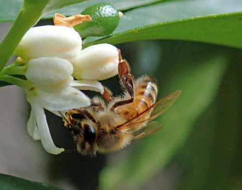 Bee Insect Citrus Blossom Flower Garden Nature