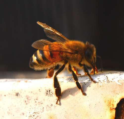 Bee Insect Honey Fly Beekeeping Pollination