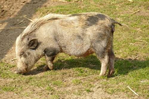 Big Pig Hog Potbellied Pig Young Fauna