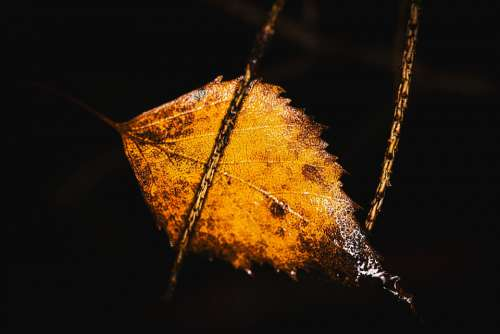 Birch Leaf Withered Wet Autumn Nature Rain Macro