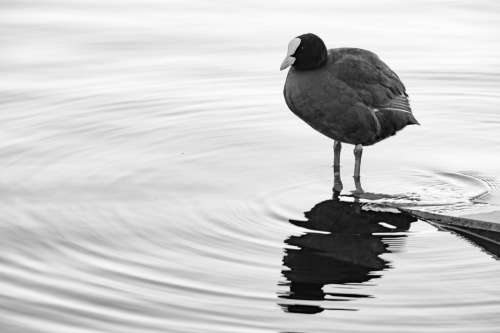 Bird Water Duck Coot Nature Water Bird Animal