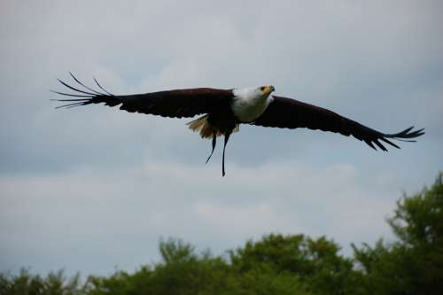 Bird Raptor Flight Nature Bird Of Prey Wild Animal
