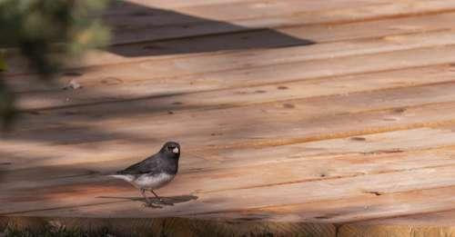 Bird Junco Snowbird Nature Dark-Eyed Canada
