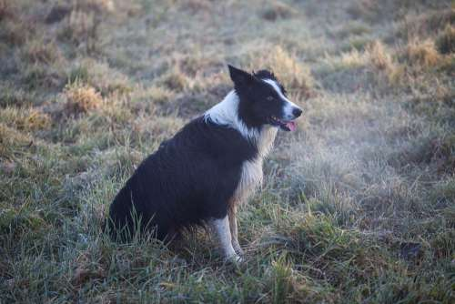Black And White Dog Breath Mist Fog Collie