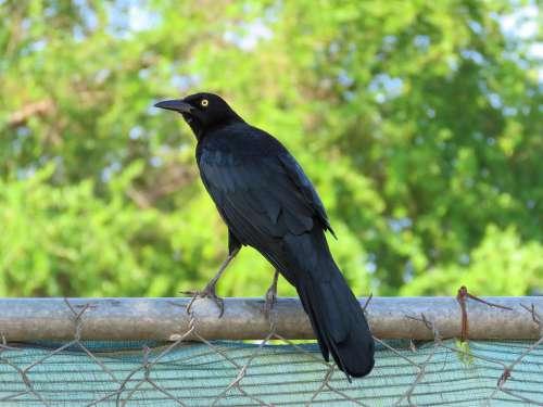 Blackbird Bird Black Birding