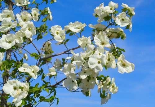 Blossom Blossom Bloom White Spring Nature Plant