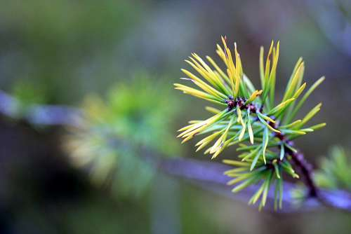 Branch Spruce Fir Tree Nature Tree Needles Forest