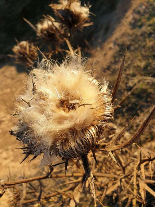 Briar Spin The Seeds Of Thistles Autumn