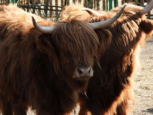 Bull Highland Cow Cattle Agriculture Scotland