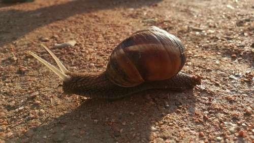 Burgundy Snail Helix Pomatia Gastropod Fauna