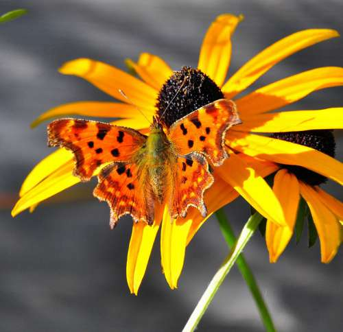 Butterfly Yellow Flowers Nature Insect Wing