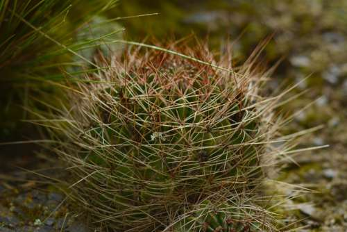 Cactus Nature Plant Botany Natural Thorns Plants