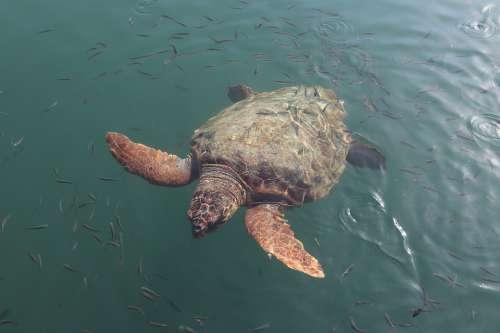 Caretta Caretta Caretta Sea Turtle Animal Wildlife