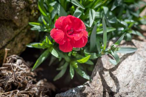 Carnation Pink Red Blossom Bloom Flower Spring