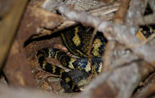 Carpet Python Snake Python Coiled Close-Up