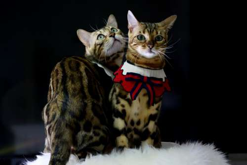 Cat Bengal Cat Baby Cats Animal Bengal Pets