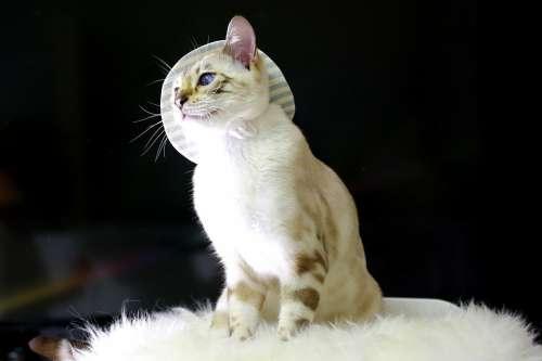 Cat Bengal Cat Baby Cats Animal Bengal Pets