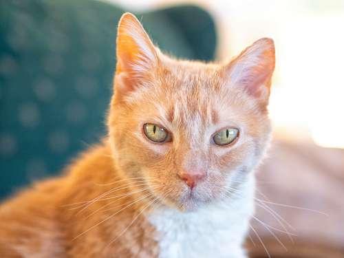 Cat Orange Cute Feline Fur Portrait Eyes Kitty