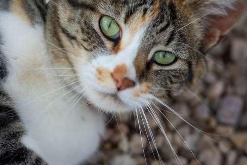 Cat Animal Pet Eyes Fur Nature