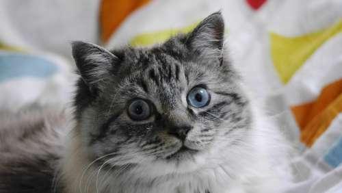 Cat Pet Animal Portraits Face