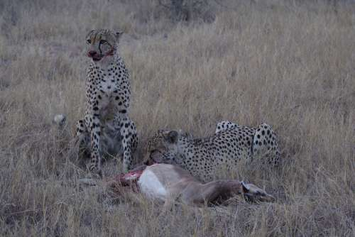 Cheetah Kill Brothers Predator Africa