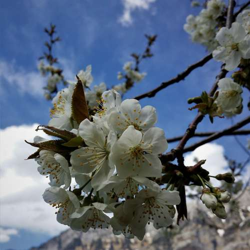 Cherry Blossom Spring Skyward Petals Cherry