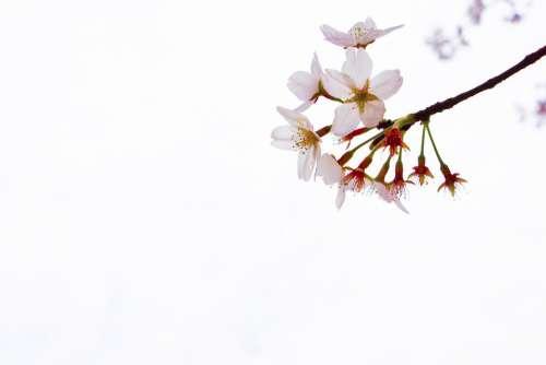 Cherry Blossom Yuantouzhu Wuxi Spring Tourism