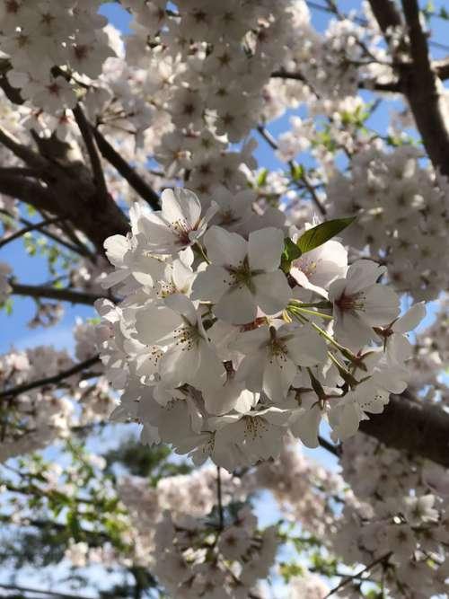 Cherry Blossom Dc Cherry Blossom Spring Blossom