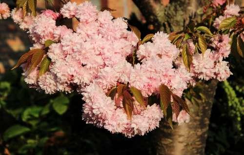 Cherry Blossom Japanese Cherry Smell Blossom Bloom