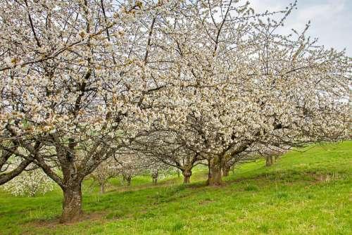 Cherry Tree High-Stem Cherry Blossom Old Trees