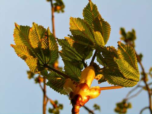 Chestnut Tree Aesthetic Bud Sky Blue Green Leaves