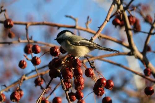 Chickadee Nature Wildlife Birds Cute Spring