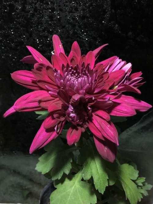 Chrysanthemum Chrysanthemums Flowering Plant Flora