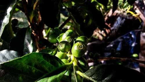 Coffee Nature Flowers Food Aroma Caffeine