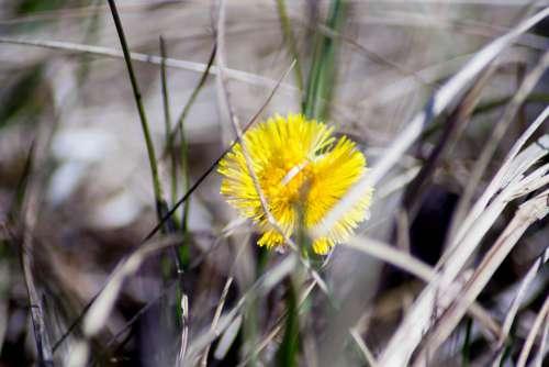 Colt'S-Foot Tussilago Farfara Flower Yellow Spring