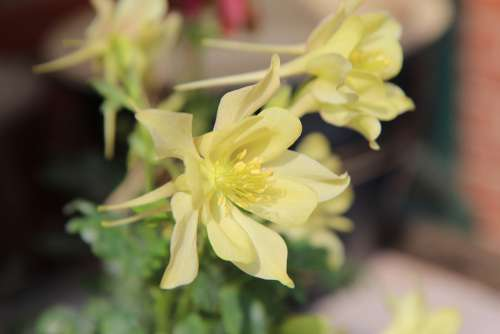 Columbine Ancolie Yellow Flowering Spring Flower