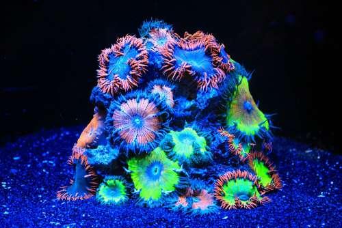 Coral Sea Water Aquarium Aquarium Soft Corals Neon