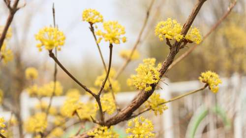 Cornus Fruit Wood Cornus Flower Flowers