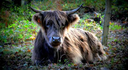 Cow Nature Forest Agriculture Livestock Pastures