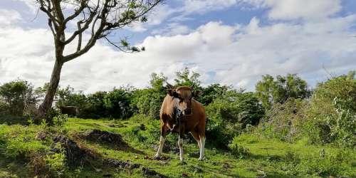 Cow Bull Farm Animal Scot Corners Mammal