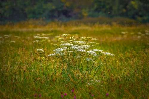 Cow Parsley Wild Herbs Blossom Bloom Wild Herb