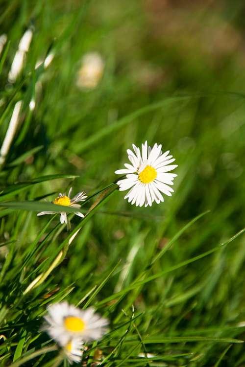 Daisy Meadow Flower Nature Spring Garden Grass