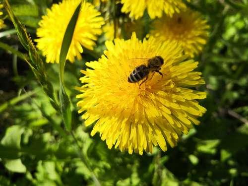 Dandelion Bee Grass Green Yellow Meadow Nature