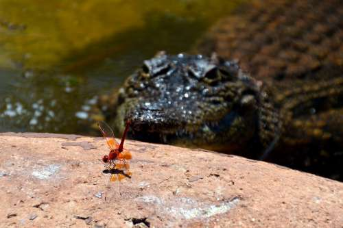 Danger Insect Crocodile Animal Life