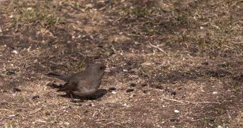 Dark-Eyed Junco Bird Nature Wildlife Canada