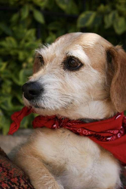 Dog Pup Puppy Animal Cute Bandana Domestic