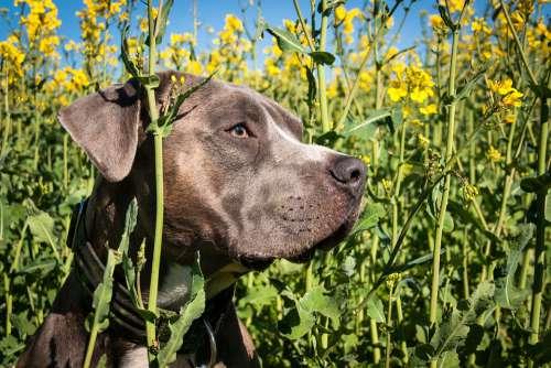 Dog Head Portrait Oilseed Rape Amstaff Terrier