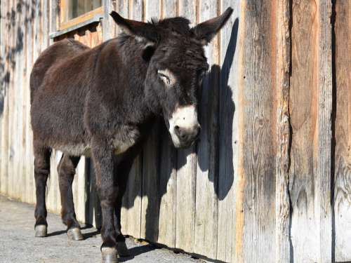 Donkey Pregnant Offside Dormant Wooden Wall